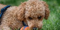 Homem que agrediu e abandonou poodle é condenado por danos morais coletivos