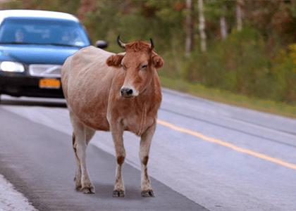 Motorista e passageiros acidentados por causa de animal na pista serão indenizados
