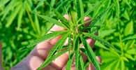 Publicada resolução da Anvisa que permite uso de produtos à base de Cannabis