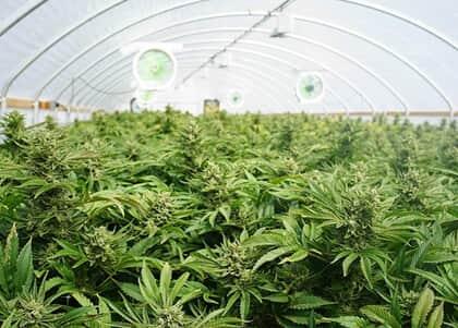 Após liberação da Anvisa, empresa consegue permissão para plantar e vender espécie de Cannabis
