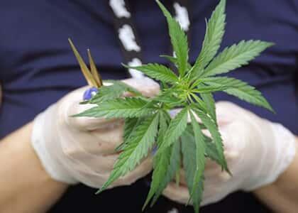 Cultivo e uso medicinal da maconha