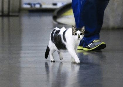 """Gato """"Rubinho"""" pode circular por galeria de Copacabana sem dono levar multa"""